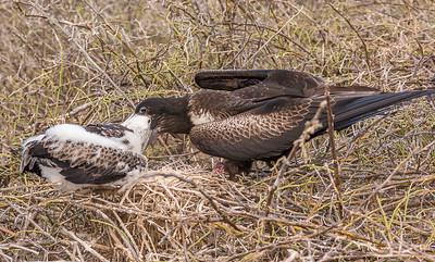 17Frigate Chick Feeding