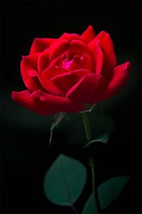 39Red Rose
