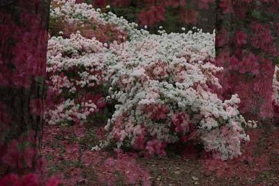 Azalea Cascade