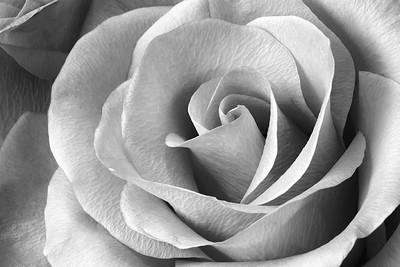Landons Rose
