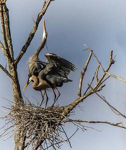 Great Blues Nesting