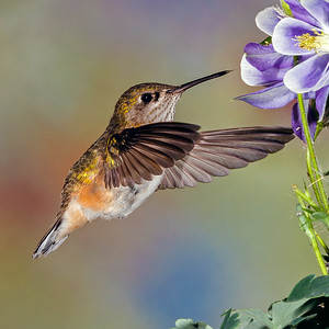 Rufous Female Hummingbird