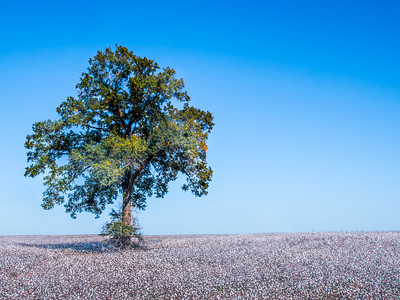 Oak in Cotton by Dave Warren