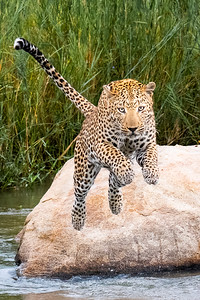 Leaping Leopard by Michael Way - Judge's Selection 2017-2018