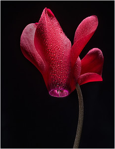 Cyclamen by Harvey Augenbraun - Judge's Selection 2018-2019 - Honorable Mention