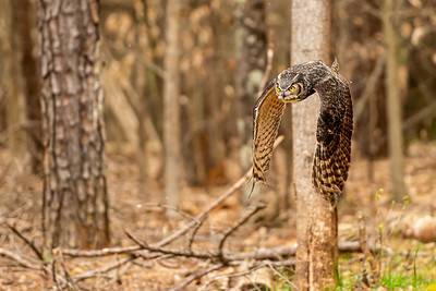 9. Great Horned Owl 2