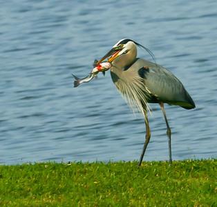 7. Great Blue Heron