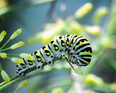 Monarch Caterpillar-Clarke Cochran