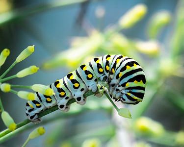 Monarch Caterpillar-Clarke Cochran