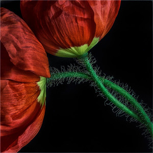 Poppies-Honorable Mention