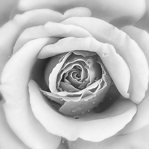 Dewy Rose by Linda Springer - Judge's Selection  2018-2019