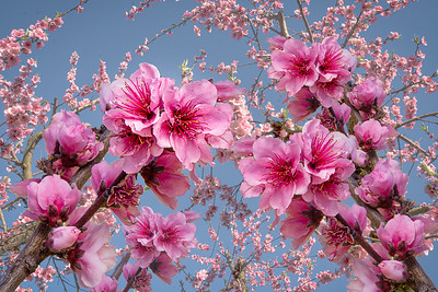 13-Peach Blossoms