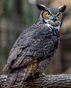 Great Horned Owl by Gary Stiles