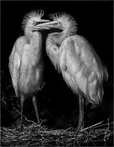 Egret Chicks at Play
