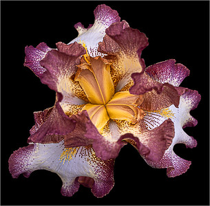 Frilly Lily