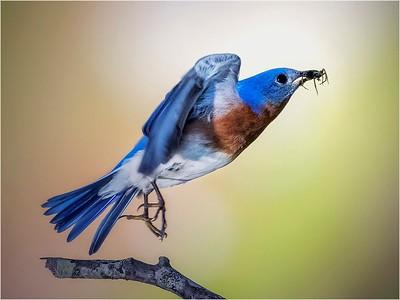 Feeding Bluebird