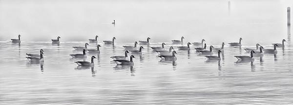 Geese in Fog