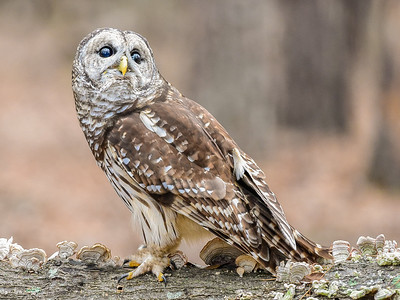 Barred Owl by Phyllis Peterson  Judges' Selections - 2016-2017