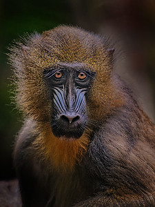 Mandrill by Gary Emord