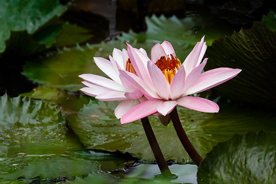 Water Lilly by Joe Howard