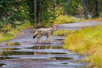 Coyote Crossing by David Warren