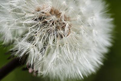 Sam Keegan: Dandelion