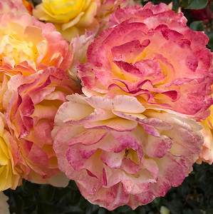 Mick Shannon: Rose 2