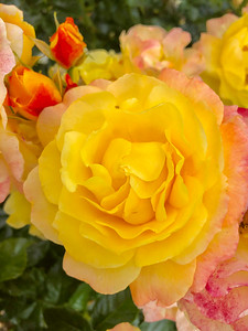Mick Shannon: Rose