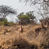"""Gerenuks, also called """"giraffe antelopes.""""  The only ones we saw on the entire trip."""