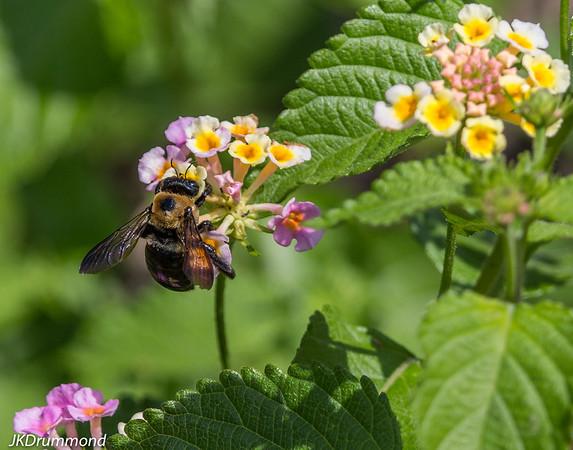 Bumblebee-Lantana