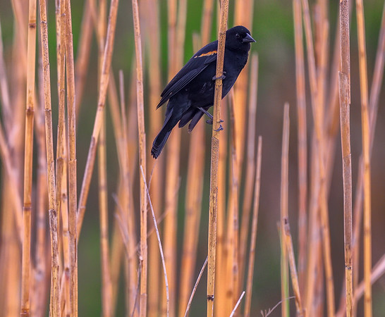 Red Winged BlackBird on Reeds
