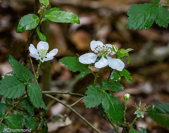Dewberry blossoms