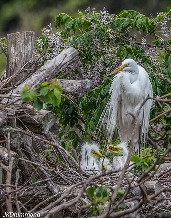 Great Egret nest-flower bkgrnd