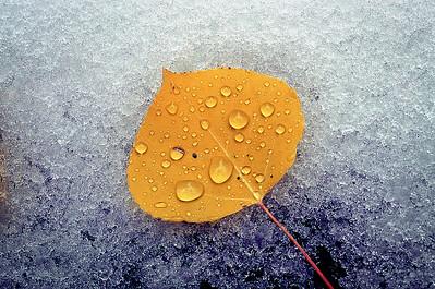 aspen leaf copy