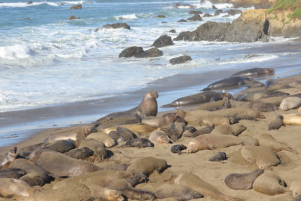 Elephant Seal Rookery and Environs - 2/10/2017