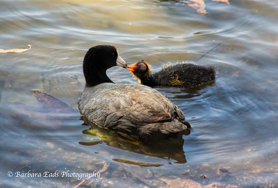 Shoot the Coots and Bolsa Chica Outing- May 18, 2013
