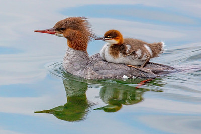Harcourt  Davis - East Lyme,Common Merganser with Chick,NFS,25x20