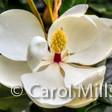 Carol Mills
