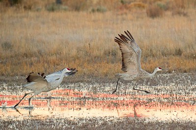 Jim Mudd_Sand Hill Cranes On the Run