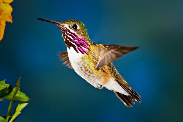 Nancylee Mudd-  Male Calliope Hummingbird