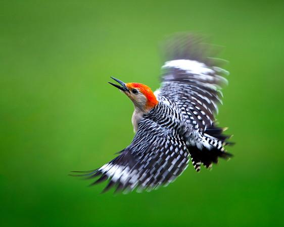 Stephen Ellis_Woodpecker in Flight