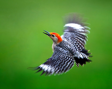 Stephen Ellis_Woodpecker in Flight