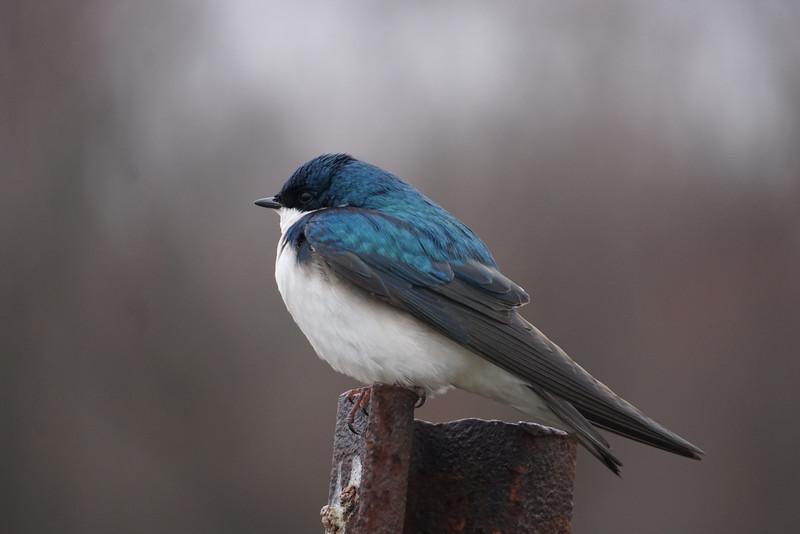 Jack Butler - Tree Swallow