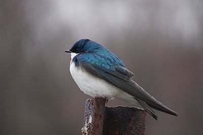 Jack Butler - Tree Swallow