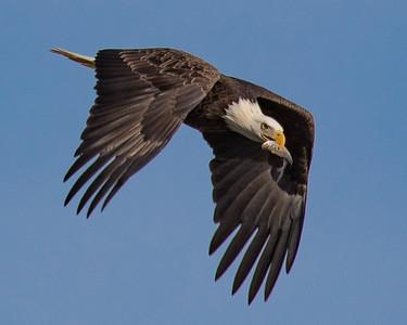 DMolzahn_3QHankin_Eagle
