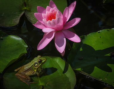 JDonato_Frog with Waterlily_Hankin Exhibit