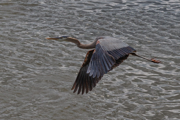 June Fav_DeniseM_Great Blue Heron