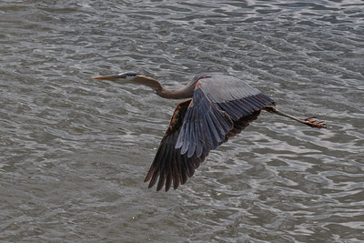 June Fav_DeniseM_Great Blue Heron