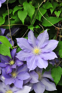 05_T Fennelly_May favorit_Clematis_TJF_2270