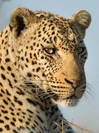 Manyeleti Leopard- Ed Bacon